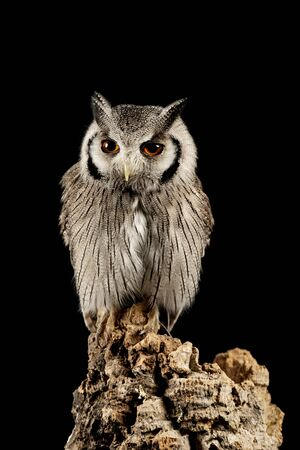 Beautiful portrait of Southern White Faced Owl Ptilopsis Granti in studio setting on black background with dramatic lighting Stockfoto