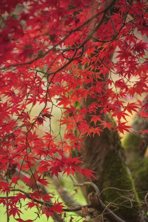 Stunning colorful vibrant red and yellow Japanese Maple trees in Autumn Fall forest woodland landscape detail in English countryside Imagens