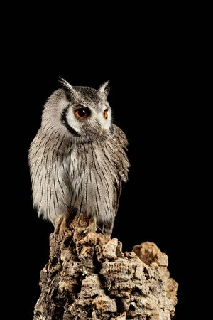 Beautiful portrait of Southern White Faced Owl Ptilopsis Granti in studio setting on black background with dramatic lighting Archivio Fotografico - 129487115