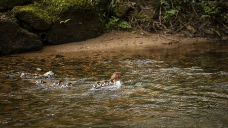 Female Gossander Mergus Merganser and ducklings swimming on River Teign in England in Spring Imagens