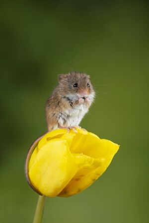 Cute harvest mice micromys minutus on yellow tulip flower foliage with neutral green nature background Archivio Fotografico - 129487130