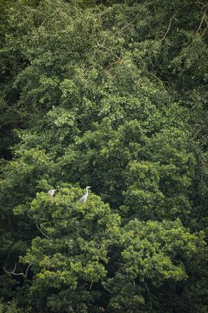 Pair of mated Grey Heron Ardea Cinerea nesting in lush green tree in Summer