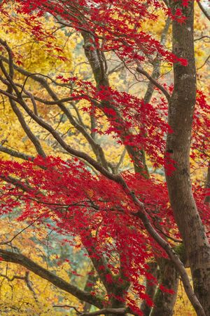 Stunning colorful vibrant red and yellow Japanese Maple trees in Autumn Fall forest woodland landscape detail in English countryside Stockfoto