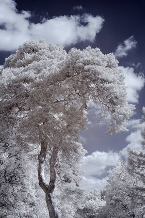 Beautiful infra red landscape image of forest in English countryside in Summer with false color processing Imagens