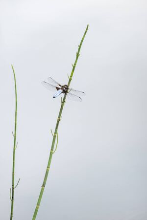 Beautiful image of male Broad Bodied Chaser dragonfly Libellula Depressa on reed in water during Summer months