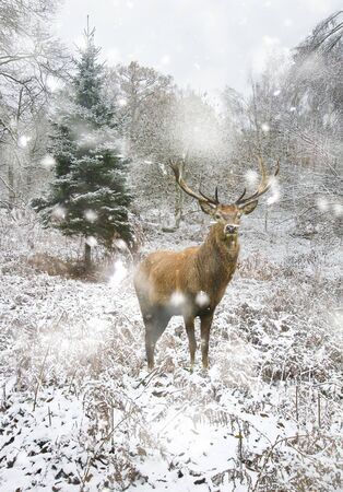 Beautiful red deer stag in snow covered Winter forest landscape in heavy snow storm