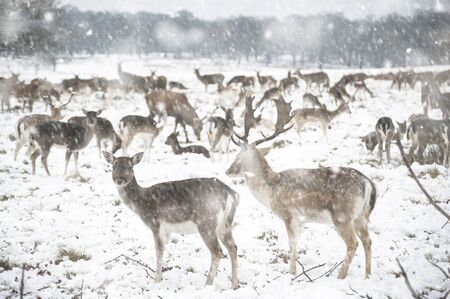 Image of fallow deer in forest landscape in Winter with snow on ground in heavy snow storm