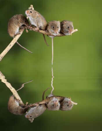 Cute harvest mice micromys minutus on wooden stick with neutral green background in nature