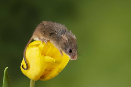 Cute harvest mice micromys minutus on yellow tulip flower foliage with neutral green nature background Stockfoto