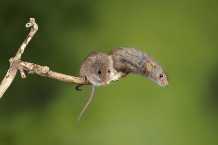Cute harvest mice micromys minutus on wooden stick with neutral green background in nature Archivio Fotografico - 129487281