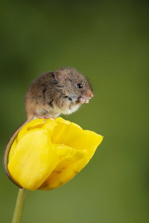 Cute harvest mice micromys minutus on yellow tulip flower foliage with neutral green nature background Banco de Imagens