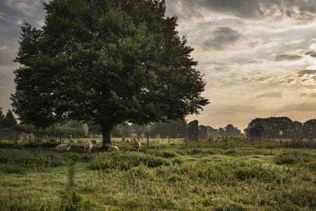 Beautiful landscape image of sheep awakening under tree during Summer sunrise in English countryside