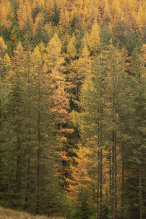 Beautiful Autumn Fall landscape of larch tree and pine tree forest in the Lake District