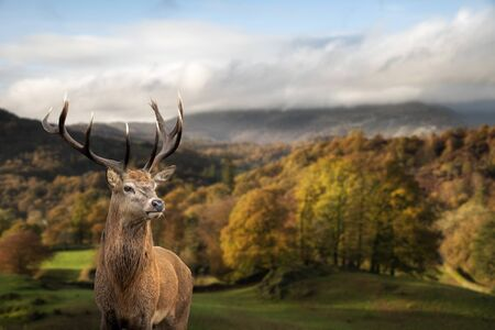Epic Autumn Fall landscape of woodland in with majestic red deer stag Cervus Elaphus in foreground Standard-Bild