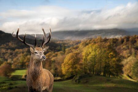 Epische Herbst-Herbst-Landschaft des Waldes mit majestätischen Rothirschen Cervus Elaphus im Vordergrund