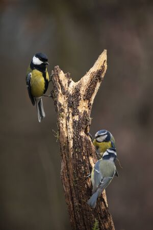 Beautiful image of Blue Tit bird Cyanistes Caeruleus on branich in Spring sunshine and rain in garden 版權商用圖片