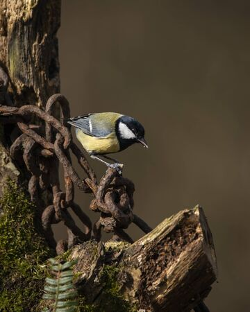Beautiul Great Tit bird Parus Major on rusty chain and metal post in Spring sunshine in garden