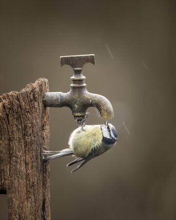 Beautiful image of Blue Tit bird Cyanistes Caeruleus on wooden post with rusty water tap in Spring sunshine and rain in garden 版權商用圖片