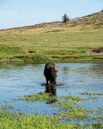 Beautiful Dartmoor ponies take a refreshing dip and drink on a hot Summer day on Dartmoor