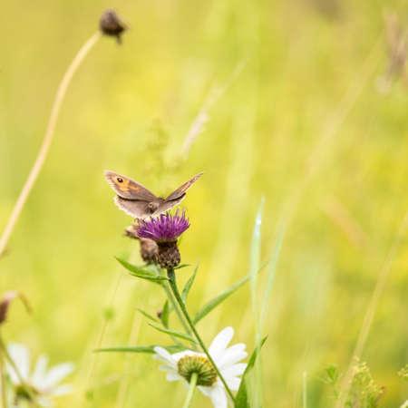 Beautiful image of Gatekeeper Pyronia Tithonus in wild flower meadow in Summer