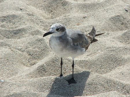 A Gull in the sand of Miami Beach