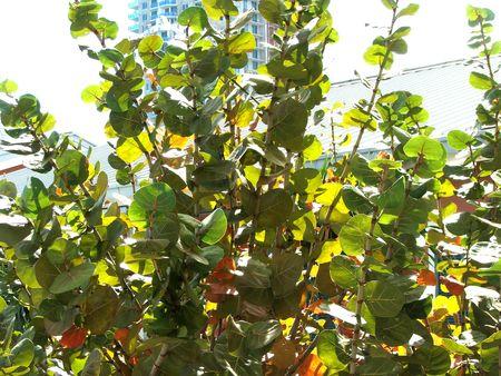 Beach grapes bush on Bayside, Florida Stock Photo