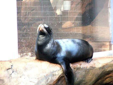 A laid seal in Georgia Aquarium