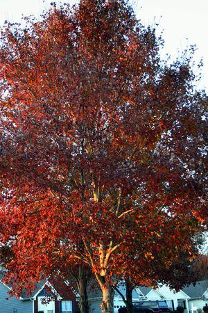 Oranje Fall boom Stockfoto