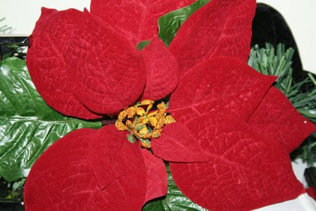 Close up of a poinsettia flower
