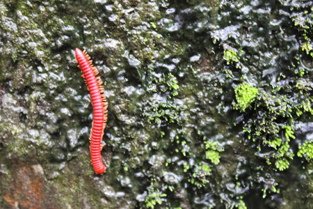 Millipede on wet rocky photo