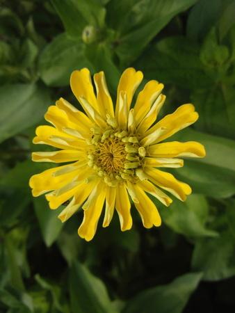 close range: Chrysanthemum