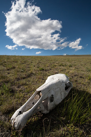White, old skull of an animal in the field on grass against a blue sky  photo