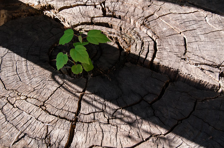 Pierces the germ of an old stump as a symbol of a new business, innovation, new ideas, renewal, as a business concept leadership and new business development strategies. photo