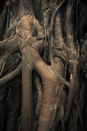 intertwining trunks. twisted tree roots. rain forest trees photo