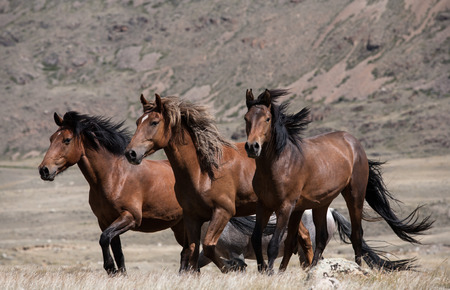 Herd of horses on a background of mountains and steppe grasses Stock fotó
