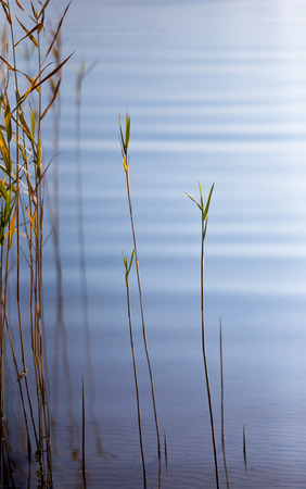 reeds bent over the smooth surface of the lake photo