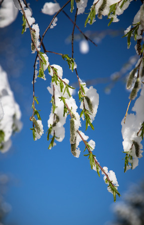 Tree branch with green leaves covered with snow against the blue sky. photo