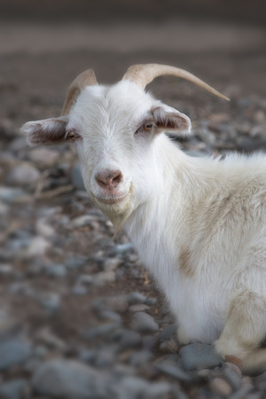 Witte geit op een achtergrond van grijs. Symbool van het nieuwe jaar op de oostelijke kalender, jaar geit