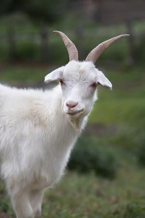 Witte geit op een achtergrond van gras. Symbool van het nieuwe jaar op de oostelijke kalender, jaar geit Stockfoto - 31373227