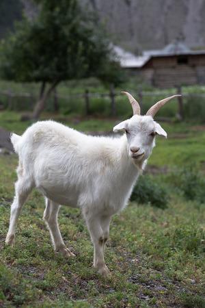 Witte geit op een achtergrond van gras. Symbool van het nieuwe jaar op de oostelijke kalender, jaar geit Stockfoto - 31373228
