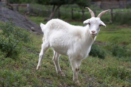 Witte geit op een achtergrond van gras. Symbool van het nieuwe jaar op de oostelijke kalender, jaar geit
