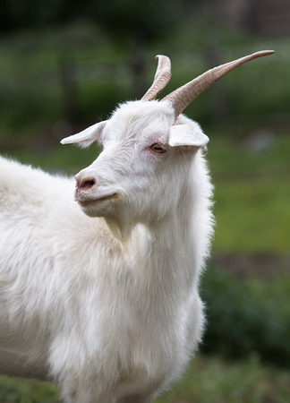 White goat on a background of grass. Symbol of the new year on the eastern calendar, year goat Stockfoto