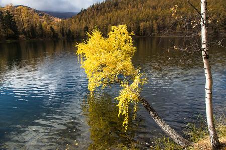 Herfst, berk met gele bladeren over een meer op een achtergrond van blauwe hemel