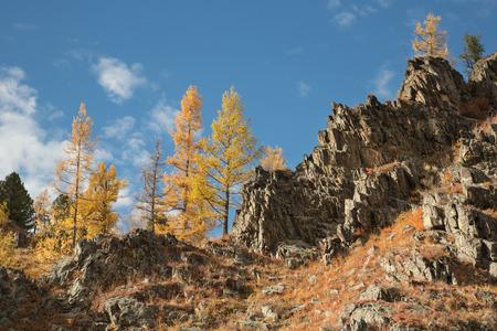 Herfst, geel lariks op een rots op de achtergrond blauwe hemel Stockfoto