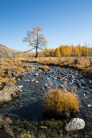 Autumn creek with stones, a lonely tree on a background of yellow forest, blue sky and mountains Stockfoto