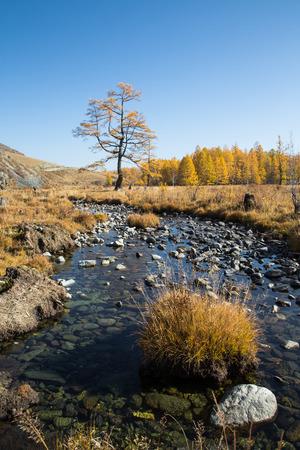 Herfst kreek met stenen, een eenzame boom op een achtergrond van gele bos, blauwe lucht en de bergen Stockfoto - 39559992