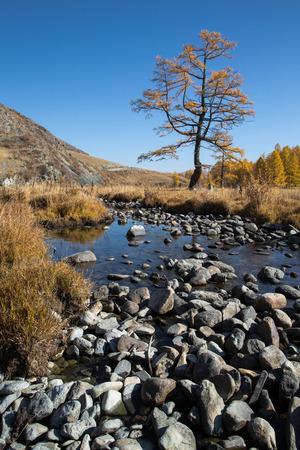 Kreek van de herfst met stenen, een eenzame boom op een achtergrond van gele bos, blauwe hemel en bergen Stockfoto - 39559993