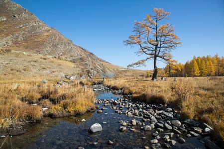 Herfst kreek met stenen, een eenzame boom op een achtergrond van gele bos, blauwe lucht en de bergen
