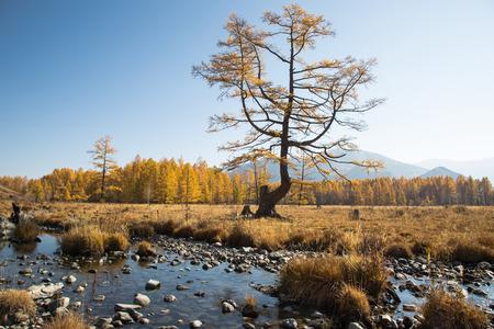 Kreek van de herfst met stenen, een eenzame boom op een achtergrond van gele bos, blauwe hemel en bergen
