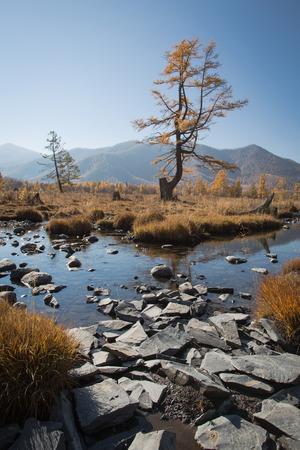 Kreek van de herfst met stenen, een eenzame boom op een achtergrond van gele bos, blauwe hemel en bergen Stockfoto - 39560003
